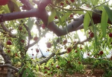 The Last News – New Crop Stone Fruit Is Coming